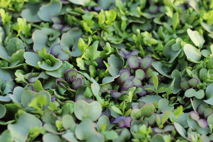 Consejos para Cultivar Microvegetales comestibles