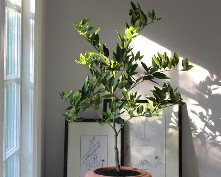 Cómo cuidar en Invierno un árbol de cítricos en maceta