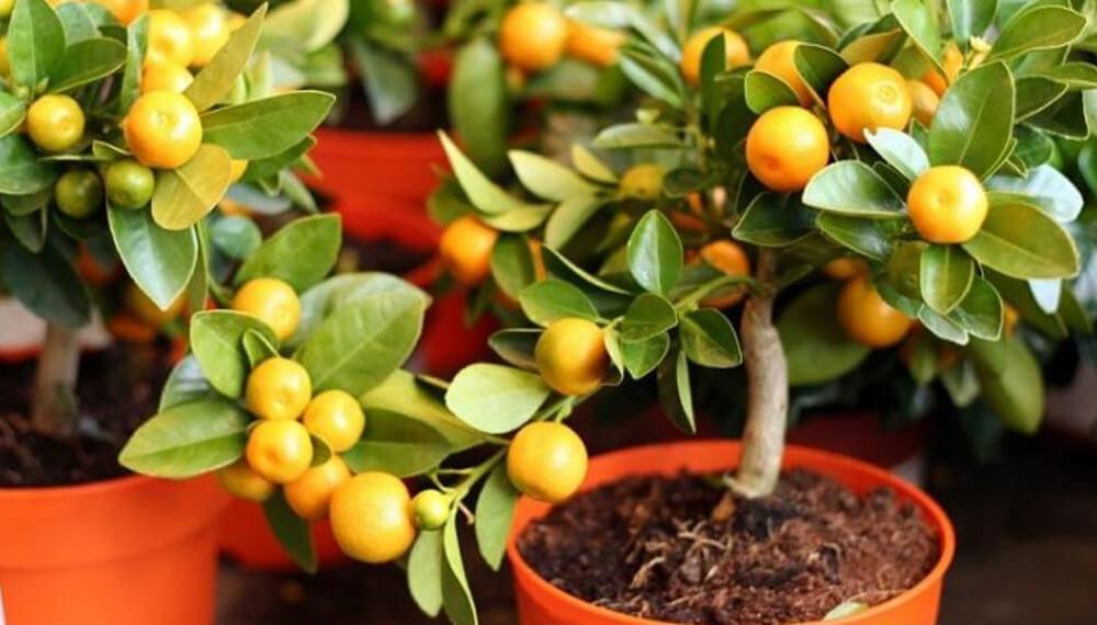 como podar plantas frutales