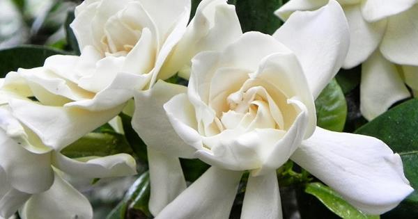 Cómo evitar que tus hermosas Gardenias blancas se pongan amarillas.