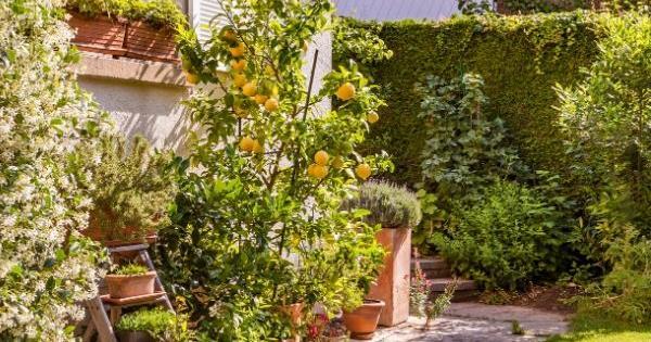 growing citrus in pots