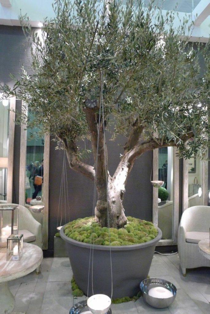 olivo en maceta