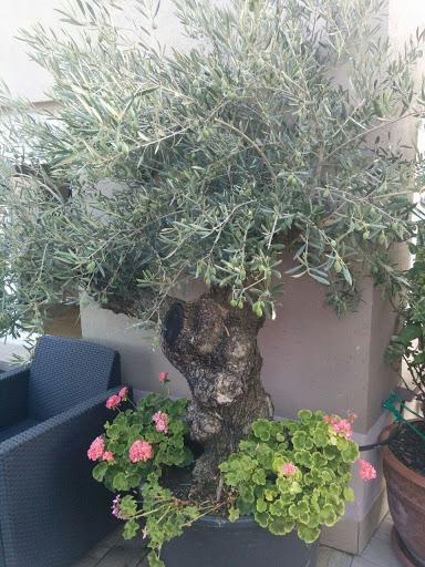 olivo en terraza exterior