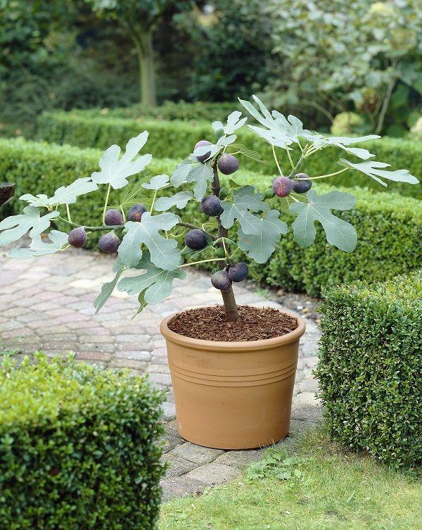 Árbol de Higos en maceta