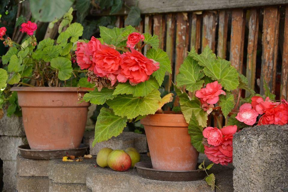 Plantas de begonias tuberosas para macetas y jardines