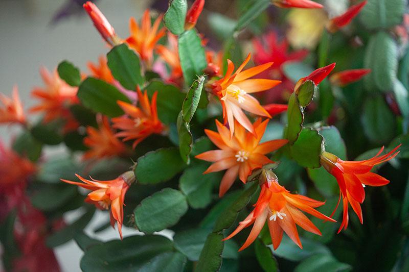 El cactus de Navidad naranja