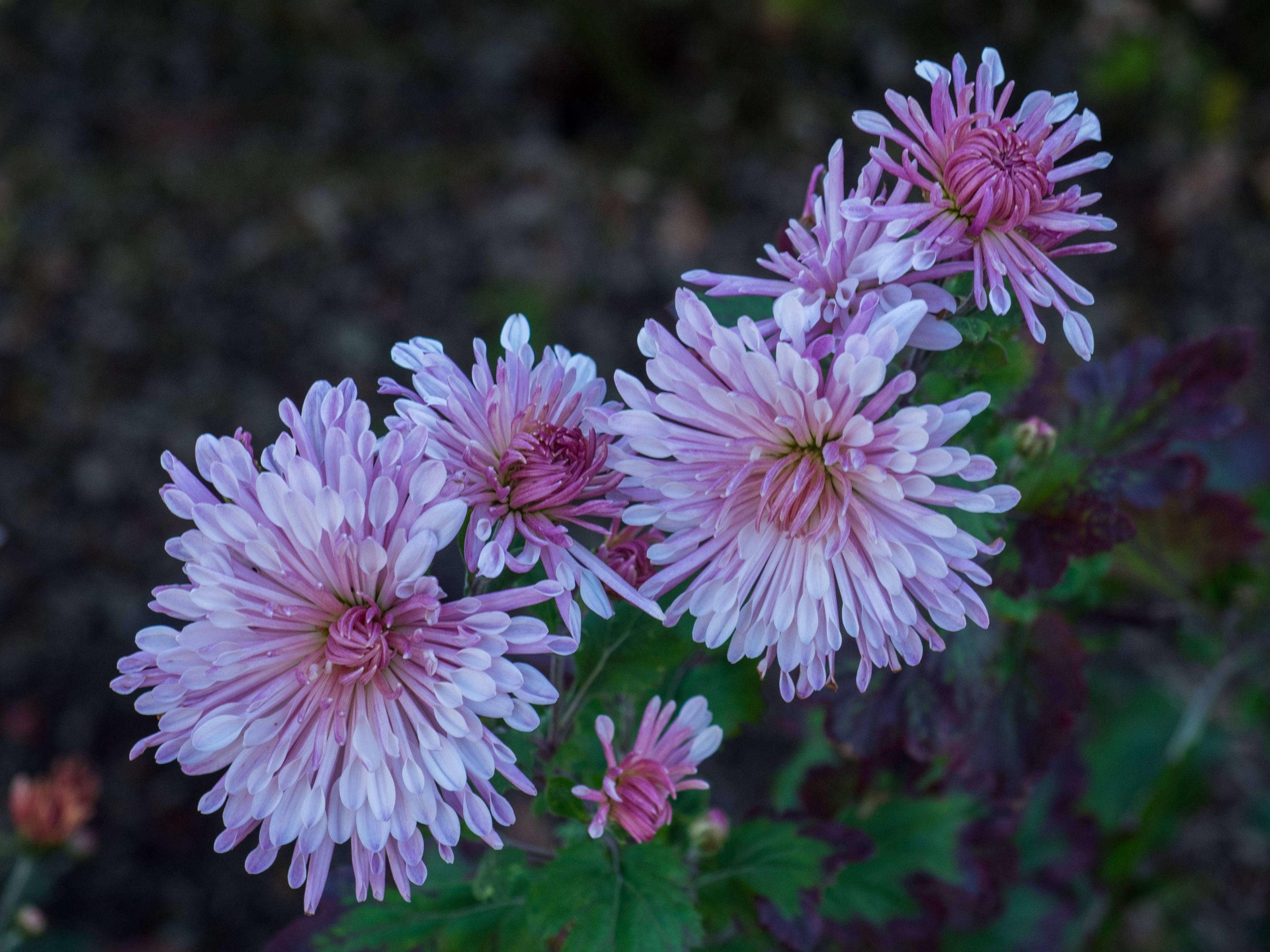Aprenda como Plantar y Cuidar los Crisantemos: las flores de otoño