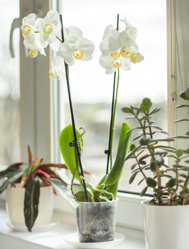 La orquídea Phalaenopsis