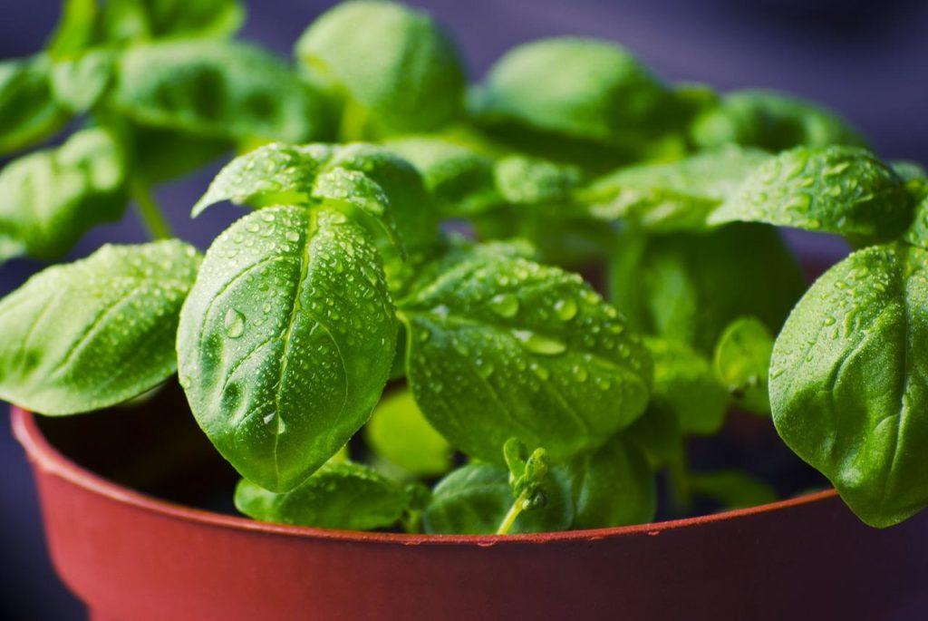 como cultivar albahaca en casa 1