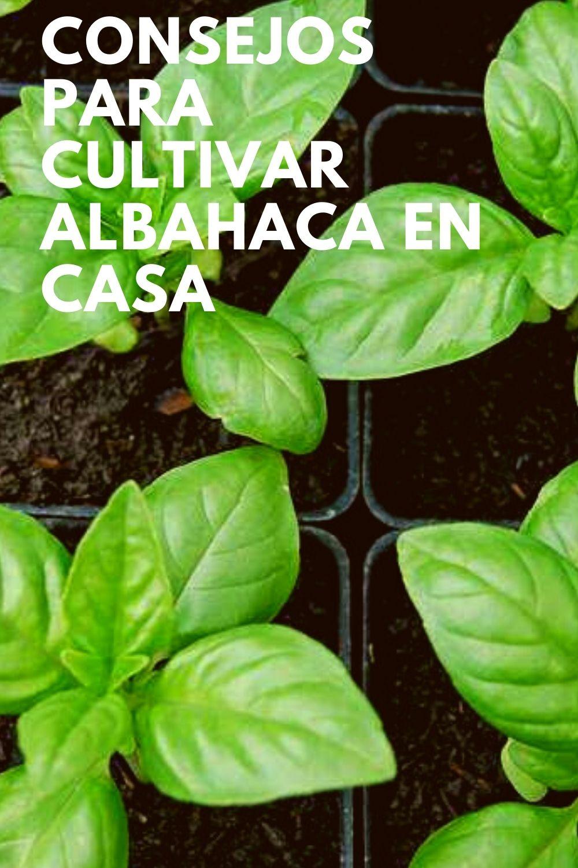 Albahaca en Casa: consejos para plantar, cuidar y cultivar