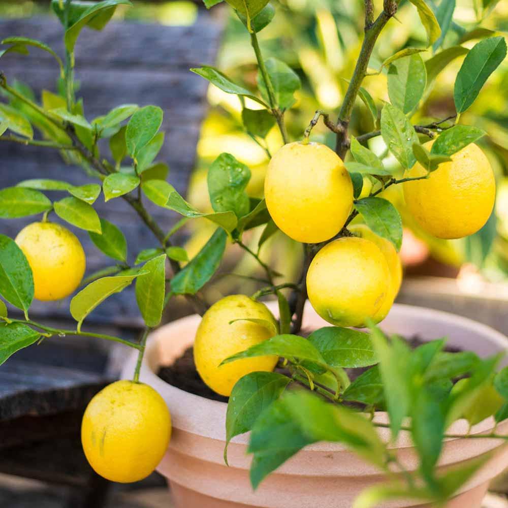 limon en maceta