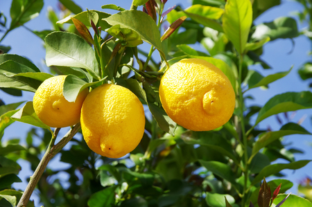 limones amarillos de un ábol de jardin